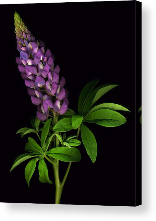 Scanart Acrylic Print featuring the photograph Glorious Purple Lupine by Deborah J Humphries