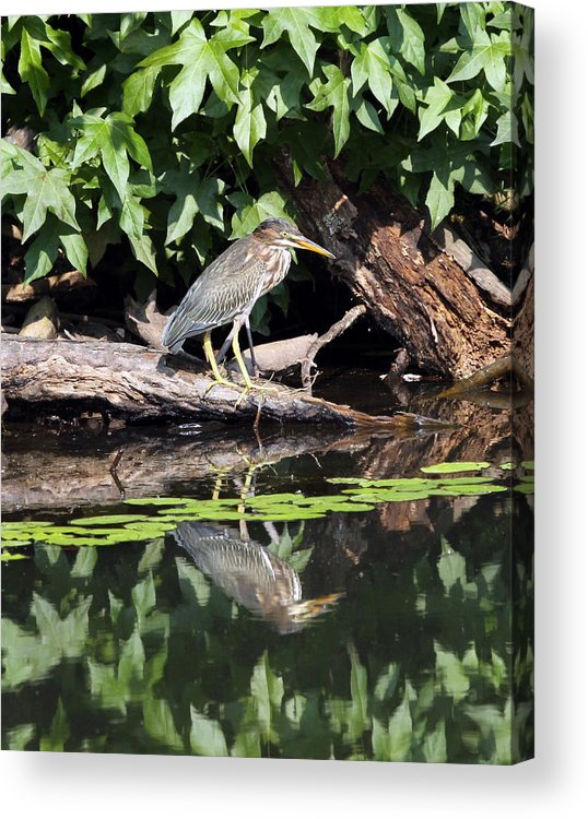 Green Heron Acrylic Print featuring the photograph Green Heron by Richard McRee