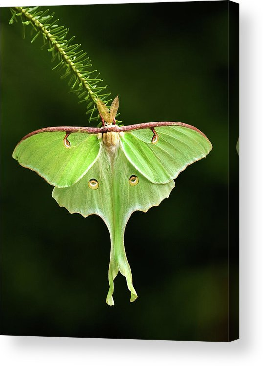 Moth Acrylic Print featuring the photograph Luna Moth Spreading Its Wings. by Daniel Cadieux