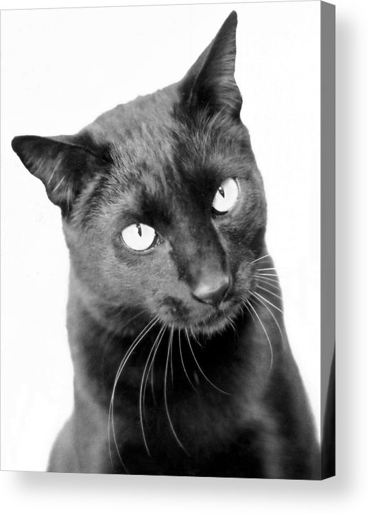 Cats Acrylic Print featuring the photograph Pablo by Heather S Huston