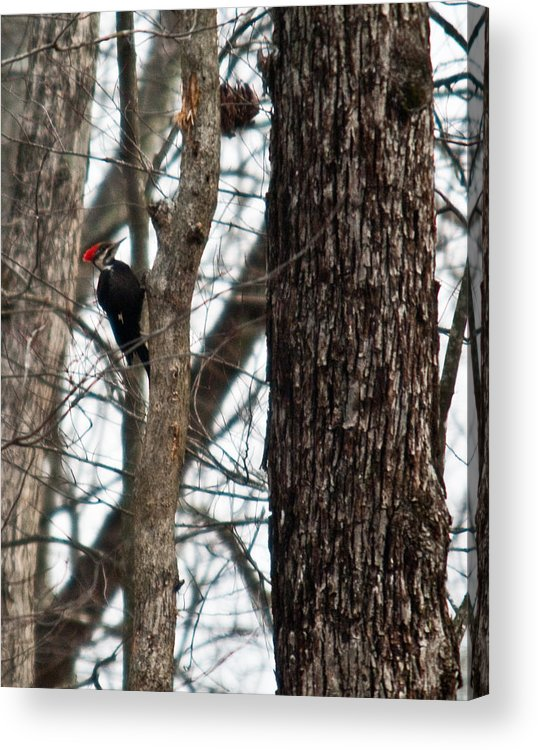 Cumberland Acrylic Print featuring the photograph Pileated Billed Woodpecker by Douglas Barnett