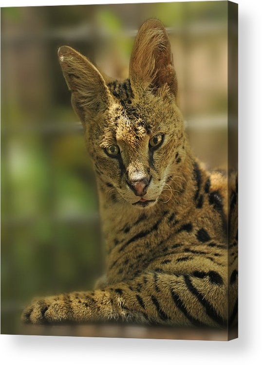 Cat Acrylic Print featuring the photograph Serval by Keith Lovejoy