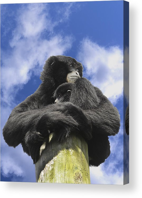 Siamang Acrylic Print featuring the photograph Siamang Gibbon by Keith Lovejoy