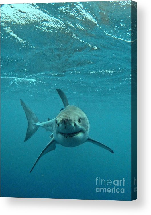 Great White Shark Acrylic Print featuring the photograph Smiley Shark by Crystal Beckmann
