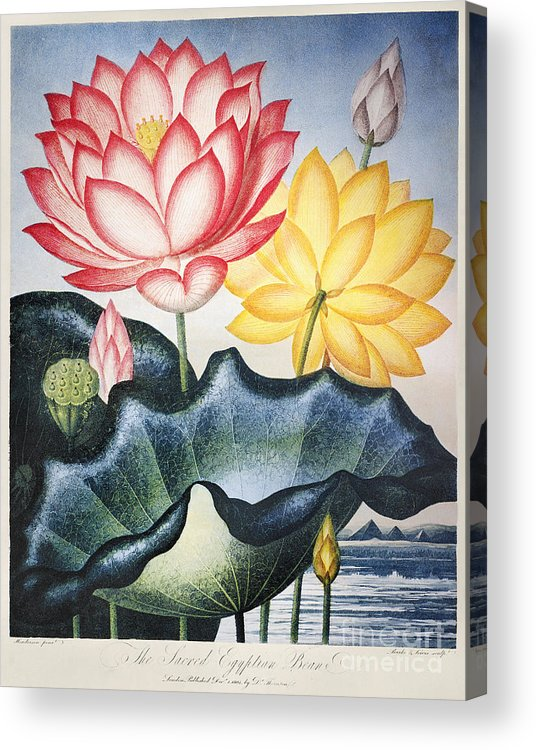 1804 Acrylic Print featuring the photograph Thornton: Lotus Flower by Granger