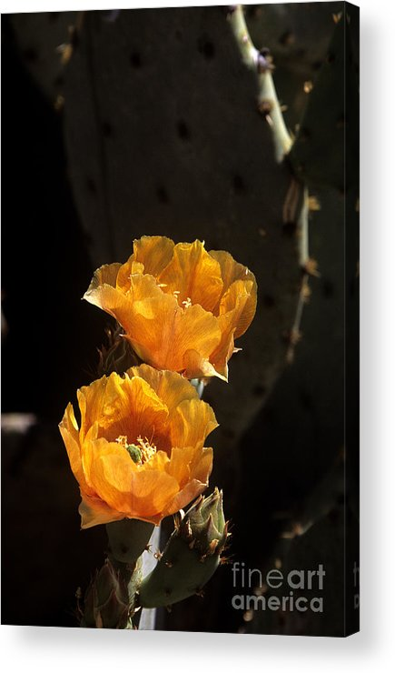 Cactus Acrylic Print featuring the photograph Apricot Blossoms by Kathy McClure