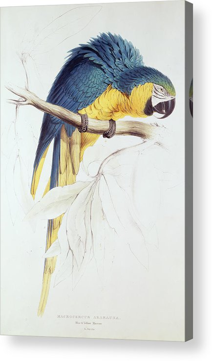 Parrot Acrylic Print featuring the painting Blue And Yellow Macaw by Edward Lear