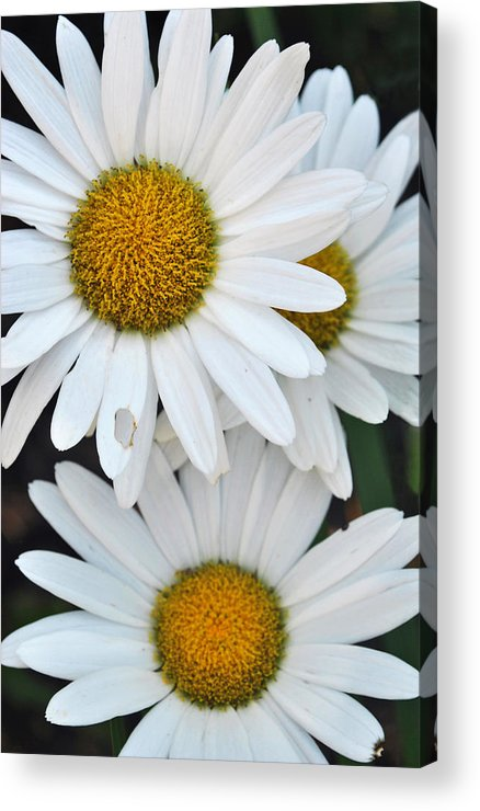 White Acrylic Print featuring the photograph Daisy And Friends by Adam Barksdale
