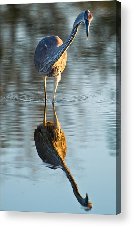Animal Acrylic Print featuring the photograph Heron Looking At Its Own Reflection by Andres Leon