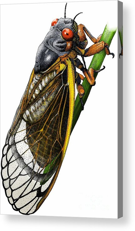 Animal Acrylic Print featuring the photograph Periodical Cicada by Roger Hall