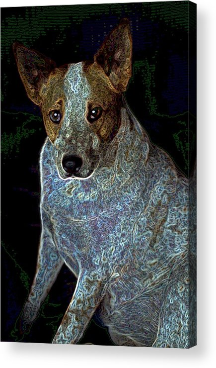 Austalian Cattle Dog Acrylic Print featuring the photograph Little Blue by One Rude Dawg Orcutt