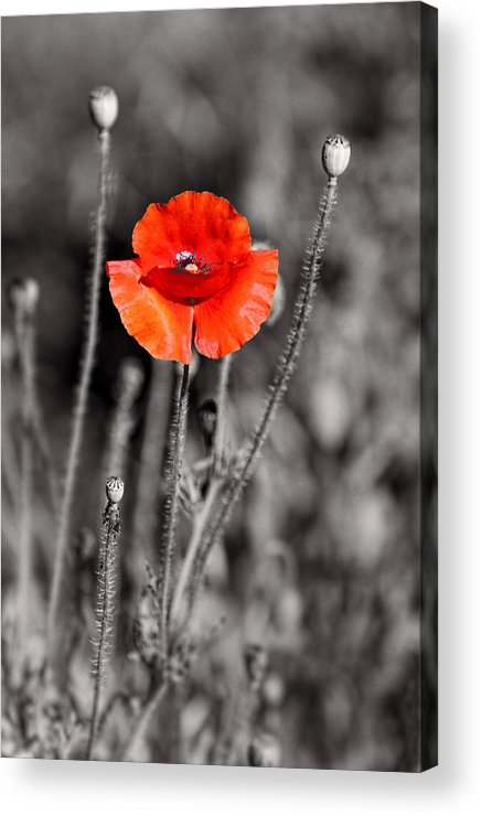 Plants Acrylic Print featuring the pyrography Texas Hot Poppy With Black And White by Linda Phelps