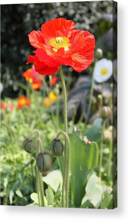Red Acrylic Print featuring the photograph Red Iceland Poppy by Suzanne Gaff