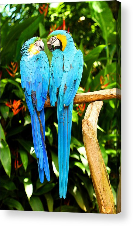 Bird Acrylic Print featuring the photograph A Pair Of Parrots by Marilyn Hunt