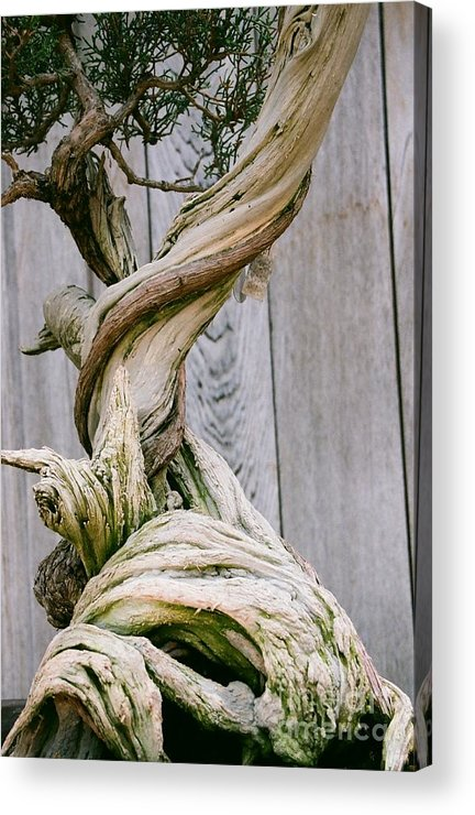 Tree Acrylic Print featuring the photograph Bonsai by Dean Triolo