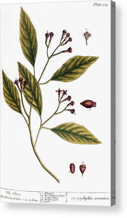 1730s Acrylic Print featuring the photograph Cloves, 1735 by Granger
