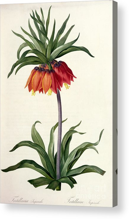 Fritillaria Acrylic Print featuring the drawing Fritillaria Imperialis by Pierre Joseph Redoute