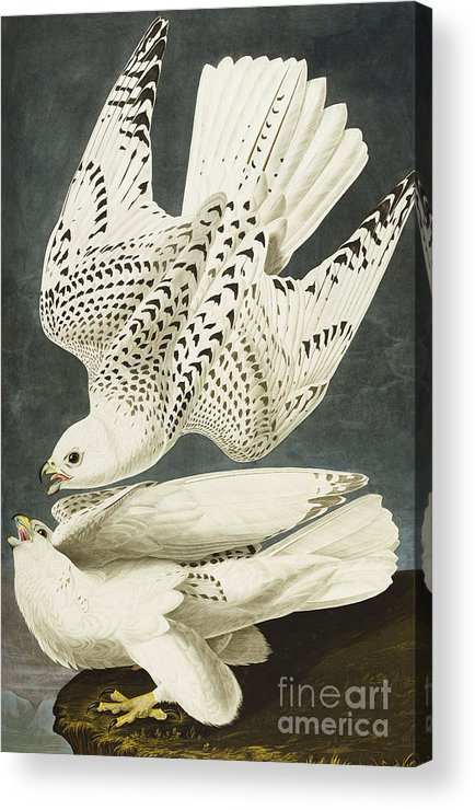 Iceland Or Jer Falcon. Gyrfalcon (falco Rustiocolis) From 'the Birds Of America' (aquatint & Engraving With Hand-colouring) By John James Audubon (1785-1851) Acrylic Print featuring the drawing Iceland Or Jer Falcon by John James Audubon
