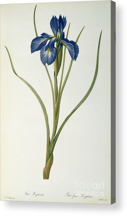 Iris Acrylic Print featuring the painting Iris Xyphioides by Pierre Joseph Redoute