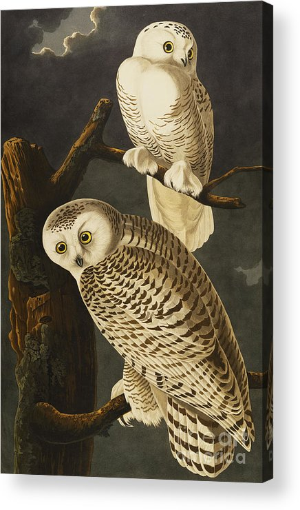 Snowy Owl (nyctea Scandiaca) Plate Cxxi From 'the Birds Of America' (aquatint & Engraving With Hand-colouring) By John James Audubon (1785-1851) Acrylic Print featuring the drawing Snowy Owl by John James Audubon