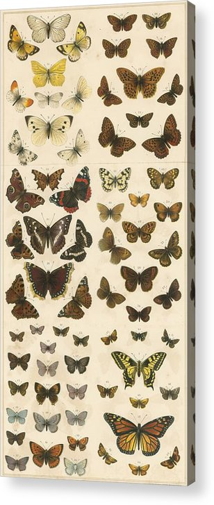 Educational; British Butterflies; Butterfly; Entomology Acrylic Print featuring the painting British Butterflies by English School