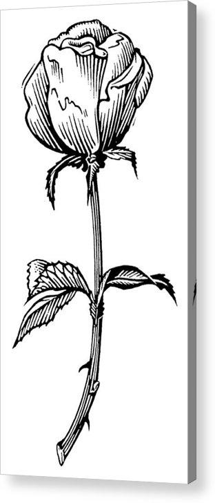 Rosa Sp. Acrylic Print featuring the photograph Rose, Lino Print by Gary Hincks