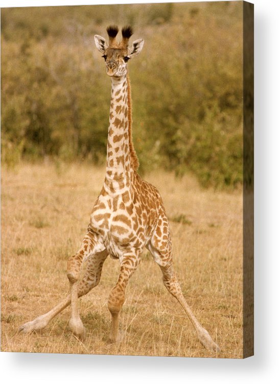 Masai Giraffe Acrylic Print featuring the photograph 6310 Baby Masai Giraffe Getting Up by Chris Maher