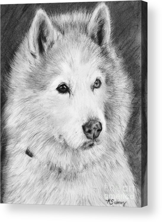 Alaskan Malamute Acrylic Print featuring the drawing Alaskan Malamute Drawing Mardi by Kate Sumners