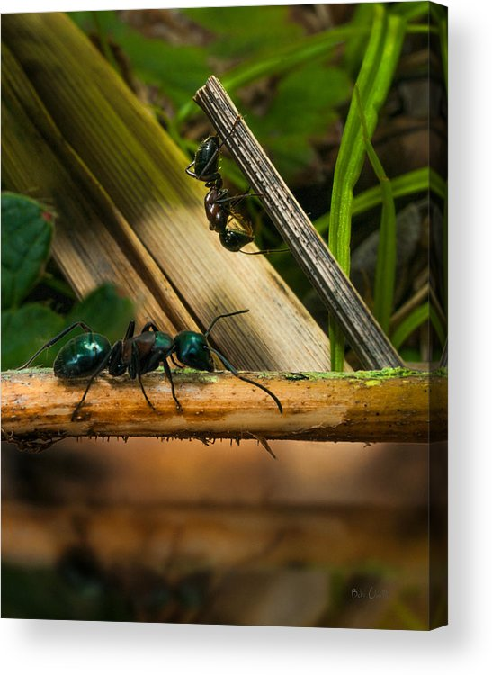 Ant Acrylic Print featuring the photograph Ants Adventure 2 by Bob Orsillo