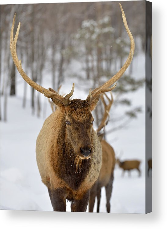 Elk Acrylic Print featuring the photograph Big Rack by Joshua McCullough