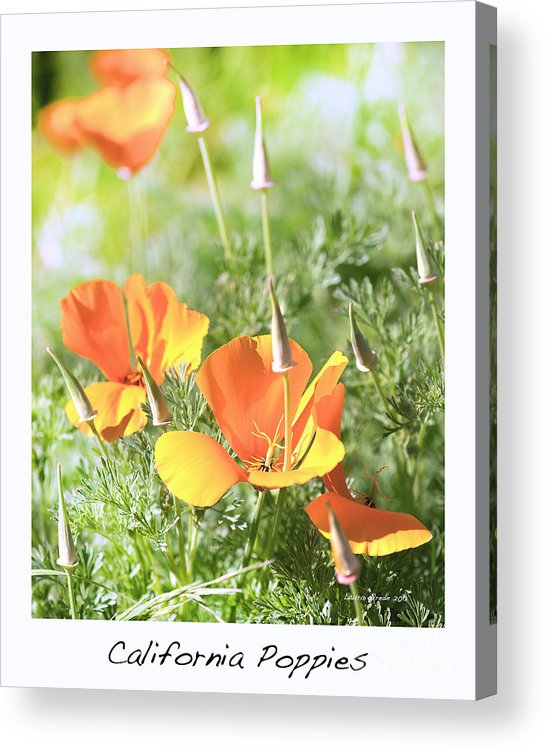 California Poppies Acrylic Print featuring the photograph California Poppies by Artist and Photographer Laura Wrede