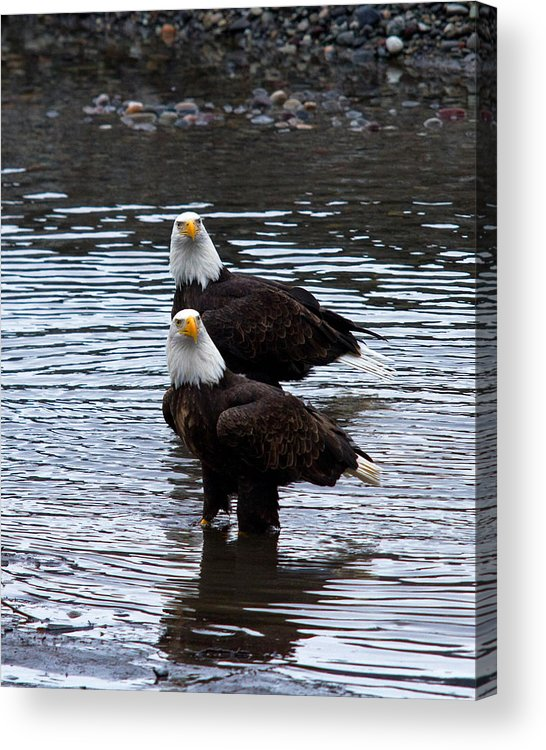Bald Eagle Acrylic Print featuring the photograph Double Trouble by Shari Sommerfeld