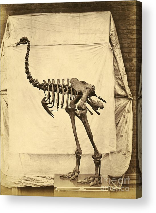 Moa Acrylic Print featuring the photograph Heavy Footed Moa Skeleton by Getty Research Institute