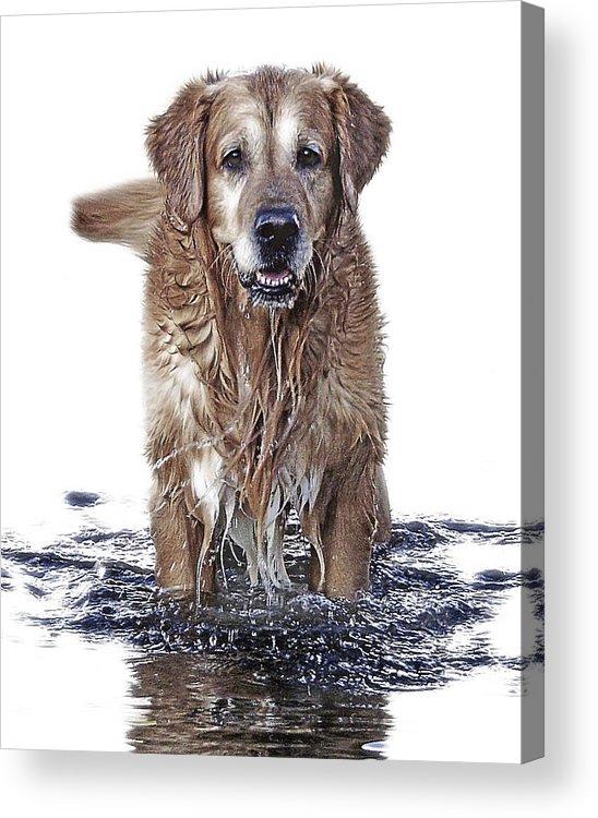 Dog Acrylic Print featuring the photograph Master Of Wet Elements by Joachim G Pinkawa