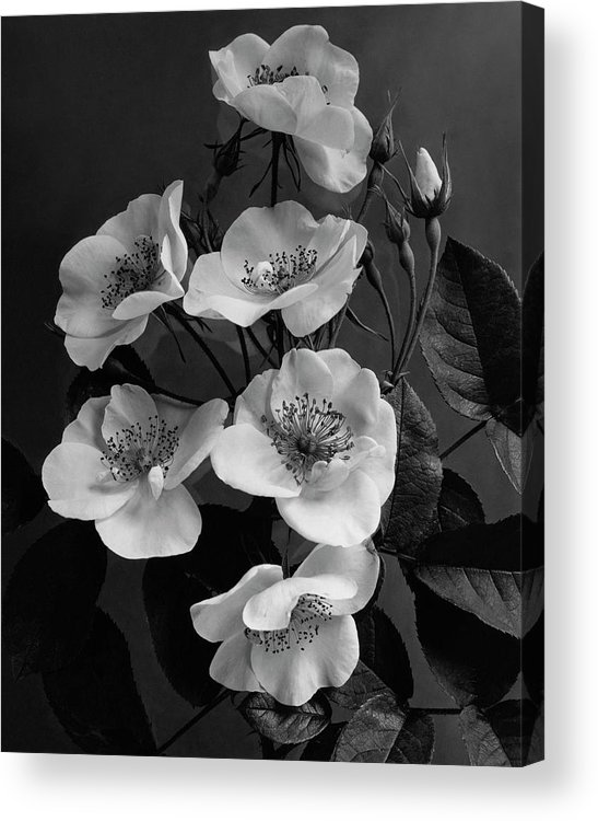 Flowers Acrylic Print featuring the photograph Moschata Alba by J. Horace McFarland