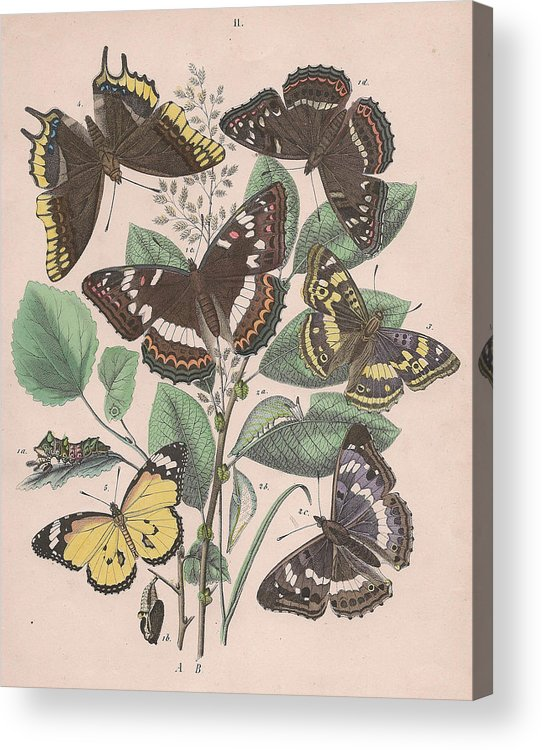Butterfly Acrylic Print featuring the drawing Nymphalidae - Danaidae by W Kirby