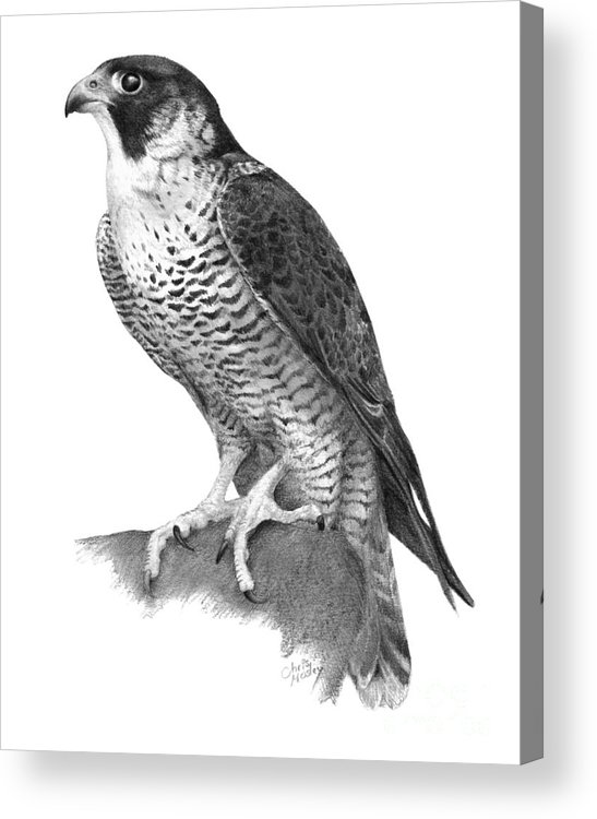 Peregrine Acrylic Print featuring the drawing Peregrine Falcon by Chris Mosley