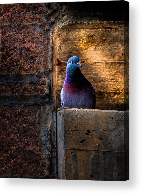 Pigeon Acrylic Print featuring the photograph Pigeon Of The City by Bob Orsillo