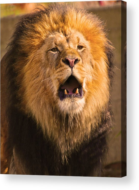 Lion Acrylic Print featuring the photograph Roar by Mitch Cat