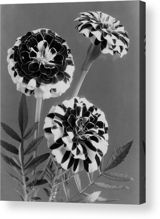Flowers Acrylic Print featuring the photograph Scotch-stripe Marigolds by J. Horace McFarland