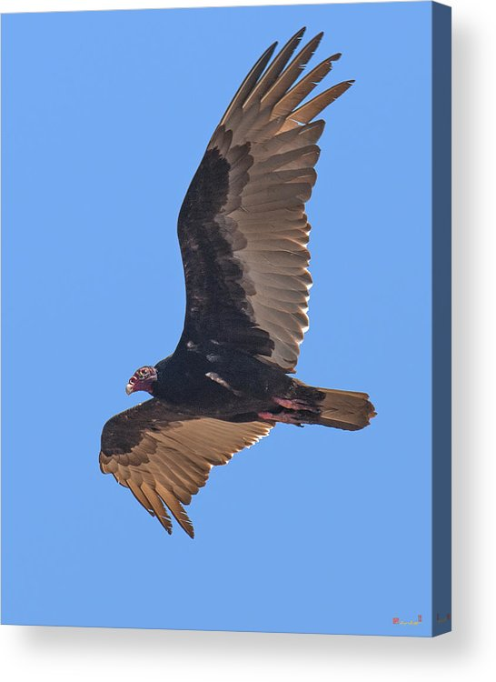 Nature Acrylic Print featuring the photograph Turkey Vulture Soaring Overhead Drb153 by Gerry Gantt