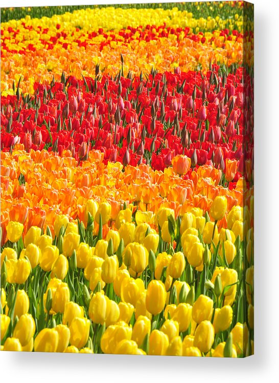 Tulips Acrylic Print featuring the photograph Welcome Spring by Dan Myers