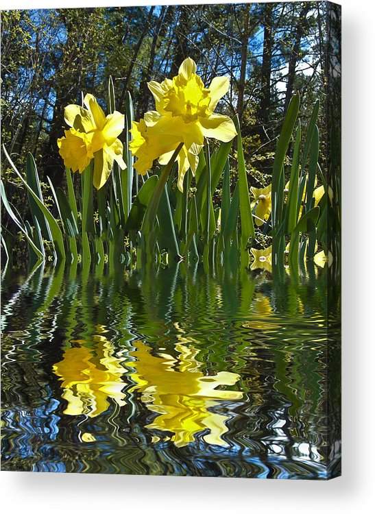Daffodils Acrylic Print featuring the photograph Flooded Daffodils by Bill Barber