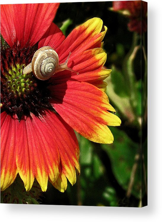 Nature Acrylic Print featuring the photograph A Snail's Pace by Peg Urban