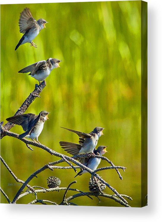 Tree Swallows Acrylic Print featuring the photograph Baby Tree Swallows Feeding #1 by John Stoj