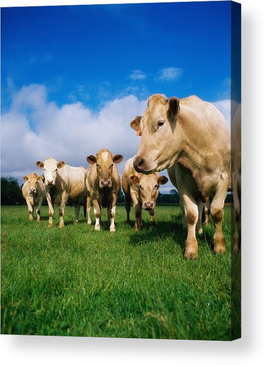 Animals Acrylic Print featuring the photograph Cattle, Charolais by The Irish Image Collection