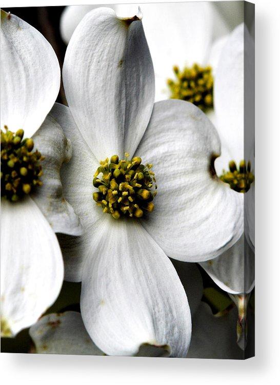 Dogwood Acrylic Print featuring the photograph Dogwood Blossom by Dan Wells