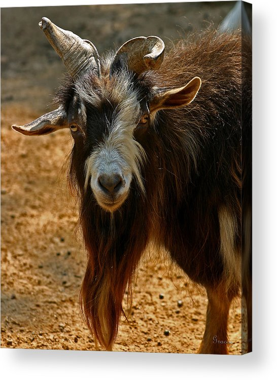 Goat Acrylic Print featuring the photograph Goat by Marcie Glass