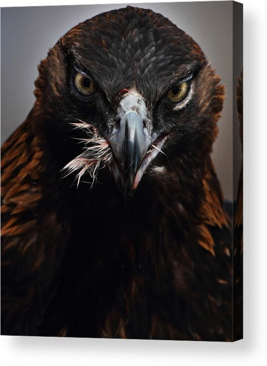 Vertical Acrylic Print featuring the photograph Golden Eagle Feeding by Pat Gaines