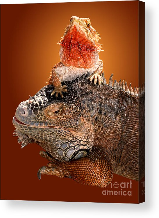 Bearded Dragon Acrylic Print featuring the photograph Lap Lizard by Jim Carrell